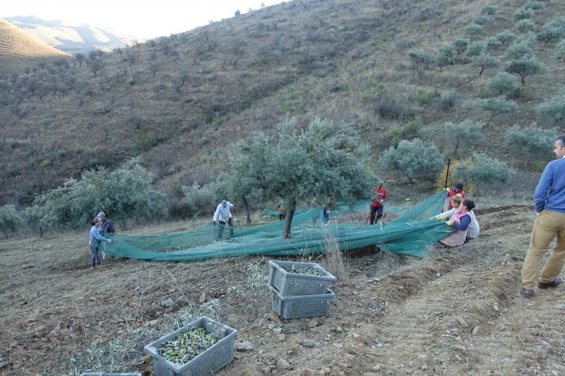 朝から日没まで収穫
