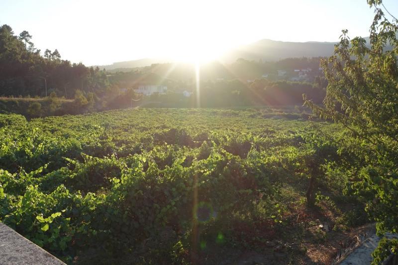 朝日が輝く葡萄畑。ヴィーニョヴェルデ地方で撮影