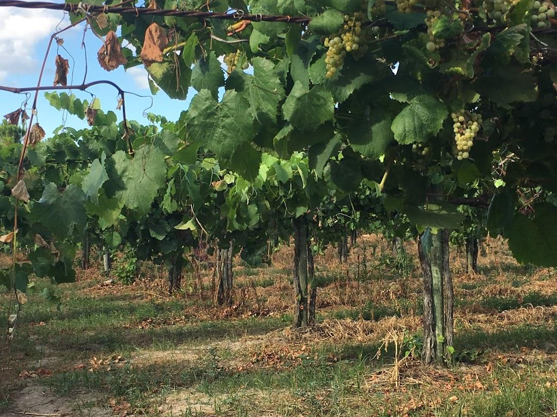 標高約300メートルの丘の上にあるアルヴァリーニョの畑。醸造所のすぐ上にあります。生産量が減るから樹齢20年が限界だろうとのこと。