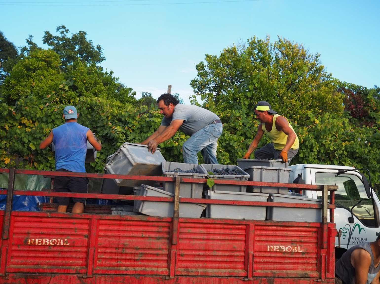 収穫したぶどうをトラックで運ぶのも重労働。1ケース25キロもあるそうです。