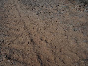 畑に何か動物の足跡。狐かな、とオスカーは言ってました。
