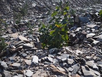 シスト土壌。痩せた土壌なので生産量は少ないが、質は高い。水はけがよいから根が下に伸びるそうです。
