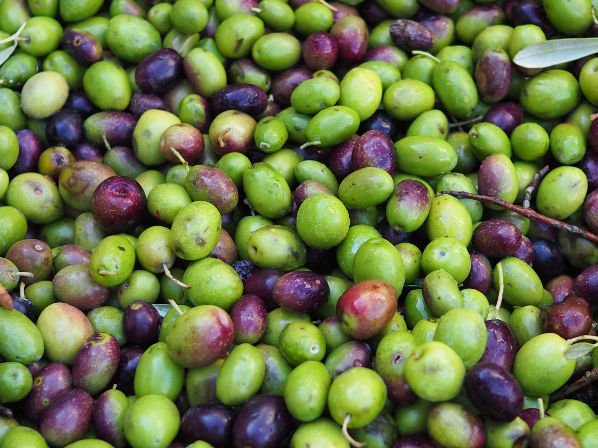 緑色のオリーブの実、とても健康的で良い状態です。