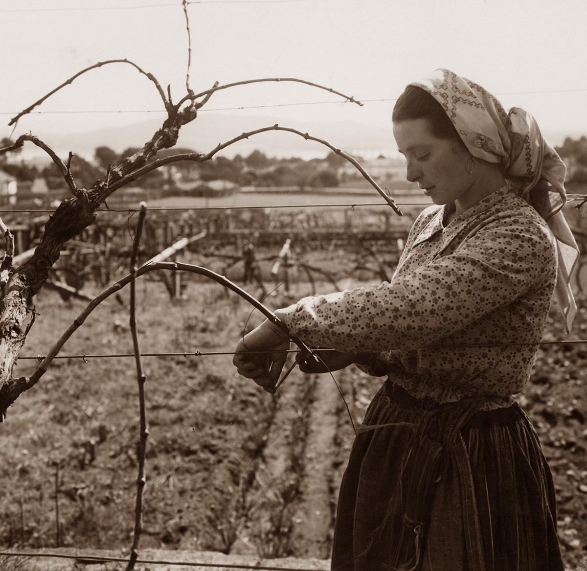 ヴィーニョ・ヴェルデ地方の収穫